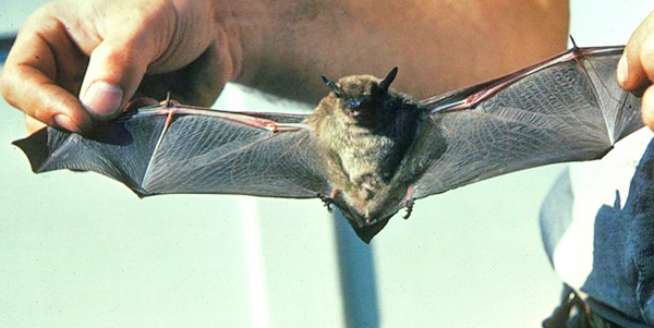 The bat hanging out at the library was identified as the species big brown bat.