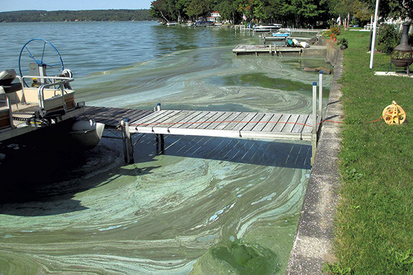 An example of blue-green algae.