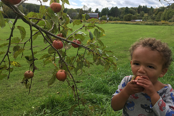 Photo: Ben Falk. An apple a day keeps the doctor away and pears help too. The Mad River Valley Community Orchard is full of ripe fruit to enjoy.
