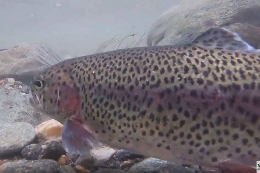 3,000 plus Trout Stocked in Mad River