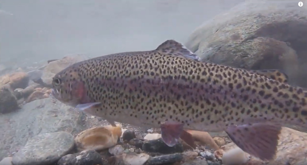 3,000+ Trout Stocked in Mad River!